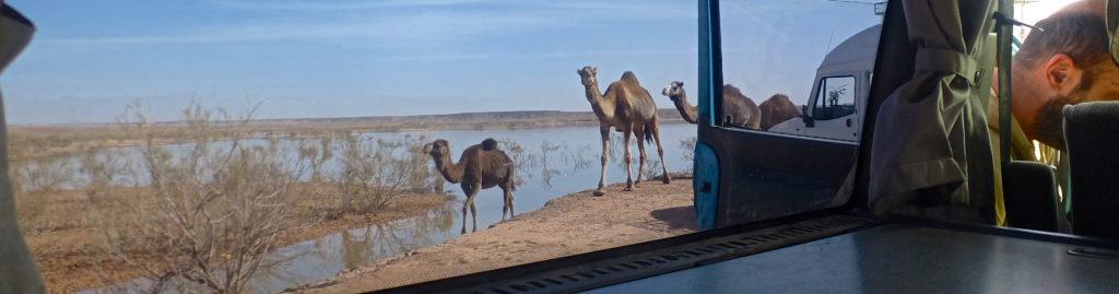Barrage El Mansour Eddahbi camels