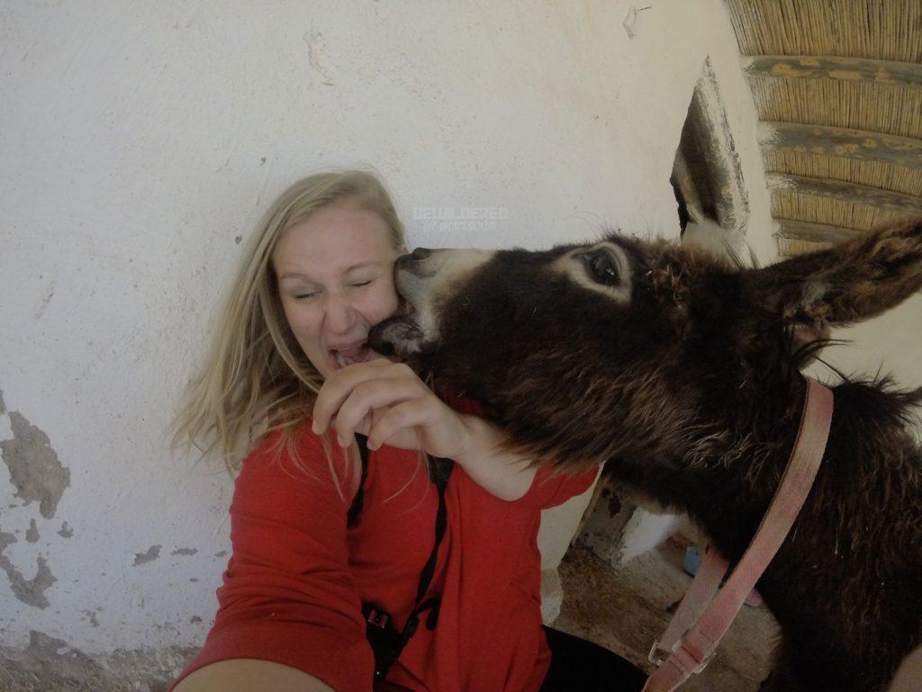 donkey kiss funny animal bite