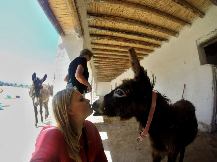 Jarjeer Mules Oued Doumnas, Marrakech British run ngo sanctuary retirement house donkeys