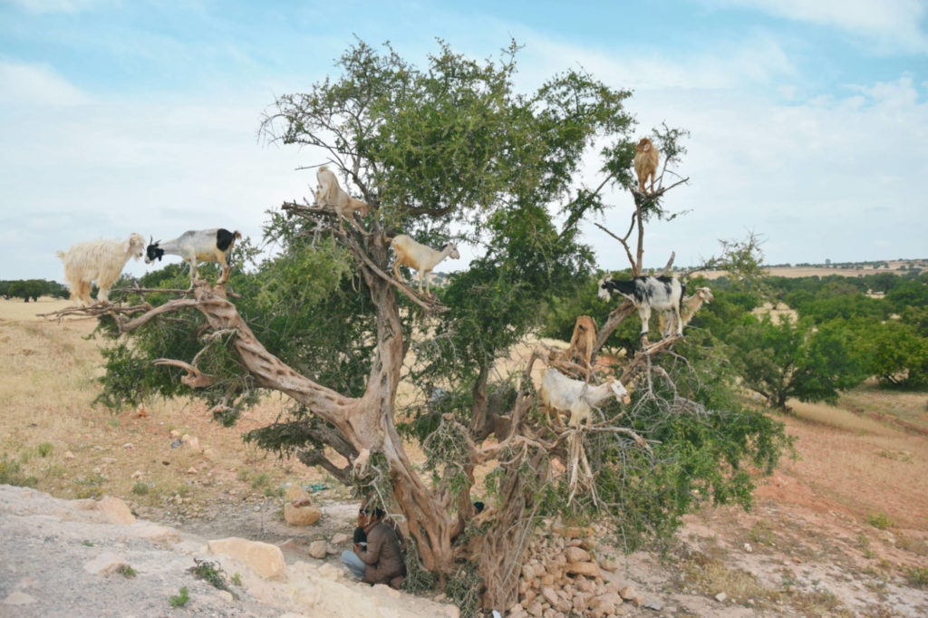 Goats on trees on our way to Essaouira